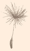 dandelion-large